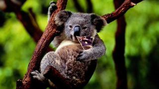 transcript: Shhh...be very quiet, we're looking for wild australian koalas